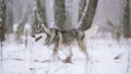 Young Siberian Husky Dog Running Outdoor In Winter 38549350