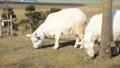 山羊 动物 雪羊 38585695