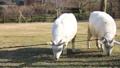 山羊 动物 雪羊 38585700