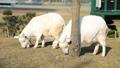 山羊 动物 雪羊 38585702