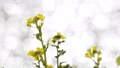 rape, rape blossoms, green flower 38610248