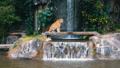 タイガー トラ 虎の動画 38629100