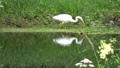 シラサギ 白鷺 さぎの動画 38768872