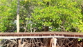 horizontal wood bridge and mangrove tree in thaila 38815686