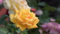 Yellow rose blossom in flower field.  38824055