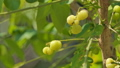 Star Gooseberry is sour fruit. Nature backgrounds. 38824175