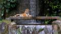 タイガー トラ 虎の動画 38839195