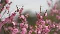 姬路城旁邊的日本花園梅花的美麗花園中的梅花,焦點運動 38850025