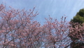 winter cherry blossoms, taiwan cherry, early-flowering cherry blossoms 38893310
