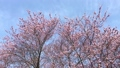 winter cherry blossoms, taiwan cherry, early-flowering cherry blossoms 38893311