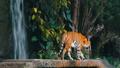 密林 タイガー トラの動画 38894032