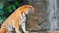 密林 タイガー トラの動画 38894090