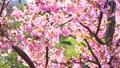 Kawazu ต้นเชอร์รี่ 38924919