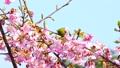 Mejiro和Kawazu樱桃树 38924923