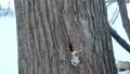警戒をしながら巣穴から出てきたエゾモモンガ 38964694