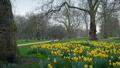 Park Scene With Many Daffodils In The Spring 39138995