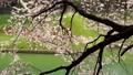 千鳥ヶ淵周辺の桜(東京都) 39278780