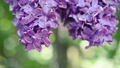 Lilac flowers background 39291251