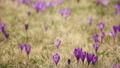 Crocus flowers field 39291254