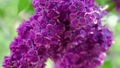 Lilac flowers background 39291258