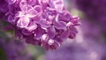 Lilac flowers background 39291271