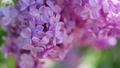 Lilac flowers background 39291277