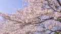 ดอกซากุระบาน,ซากุระบาน,ดอกไม้บานเต็มที่ 39294885