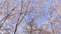 ดอกซากุระบาน,ซากุระบาน,ดอกไม้บานเต็มที่ 39294891