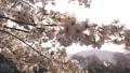 ดอกซากุระบาน,ซากุระบาน,ดอกไม้บานเต็มที่ 39294893
