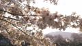 ดอกซากุระบาน,ซากุระบาน,ดอกไม้บานเต็มที่ 39294894