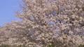 ดอกซากุระบาน,ซากุระบาน,ดอกไม้บานเต็มที่ 39299906