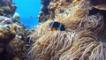 ภาพใต้น้ำจับจ้องที่ปลาการ์ตูน Toka Shiku บนเกาะโอกินาวา 39317001