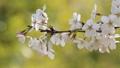 櫻桃樹盛開 39336047
