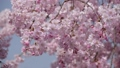 Cute pink branched cherry tree, closeup 39399334