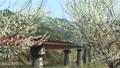 JR三江線桜と鉄橋空撮 39413995