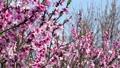 桃 桃の花 花の動画 39419132