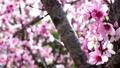 桃 桃の花 花の動画 39419133