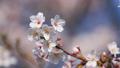 桜 植物 花の動画 39422535