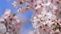 桜 植物 花の動画 39422536