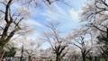 春天盛开的樱花延时修复 39424349