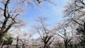 桜 タイムラプス さくらの動画 39424350