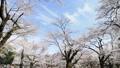 春天盛开的樱花观赏 39424352