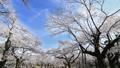 观看蓝天timelapse的春天盛开樱花 39424400