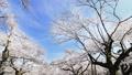 桜 タイムラプス さくらの動画 39424402