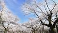 观看蓝天的春天盛开樱花 39424403
