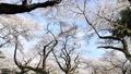 桜 タイムラプス さくらの動画 39424417