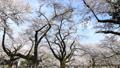 桜 タイムラプス さくらの動画 39424418