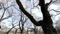 春天盛开的樱花延时修复 39424493