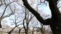 桜 タイムラプス さくらの動画 39424496
