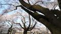 桜 タイムラプス さくらの動画 39424571